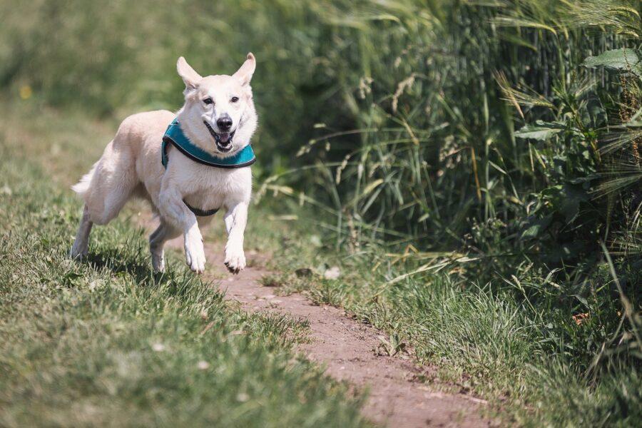 cane corre in campagna