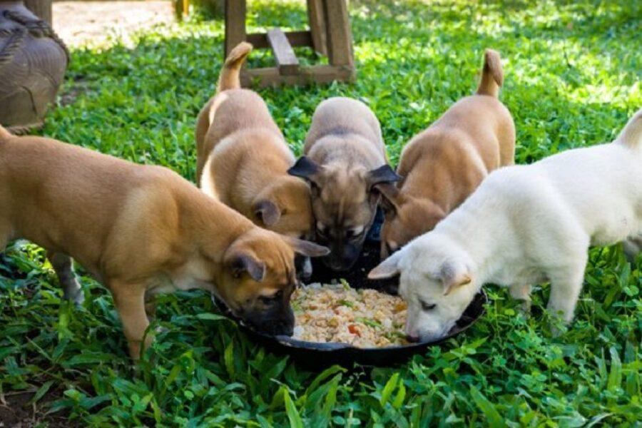 cuccioli mangiano dalla stessa ciotola