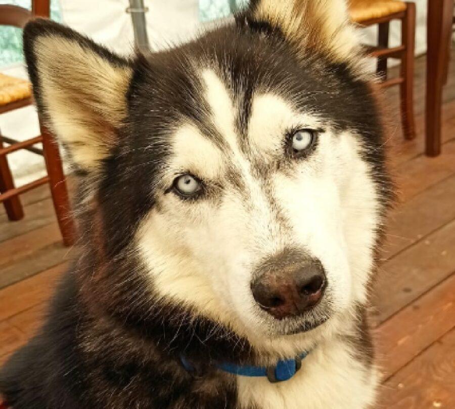 cane husky sguardo di ghiaccio
