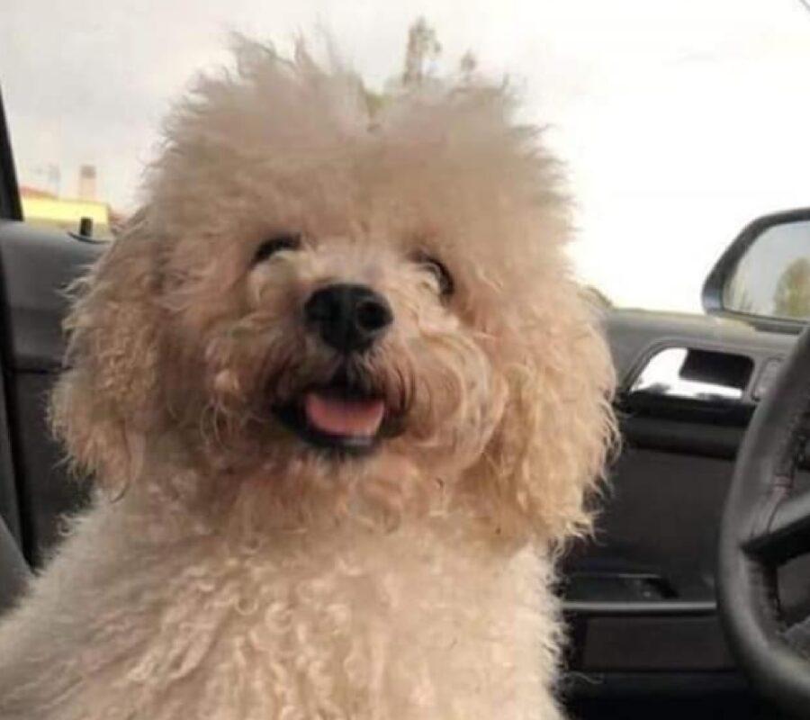 cane barboncino pelo bianco crema