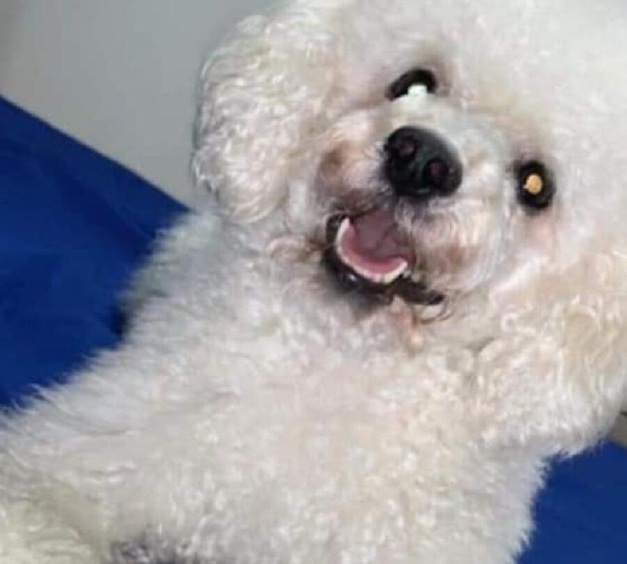 cane bianco pelo riccio