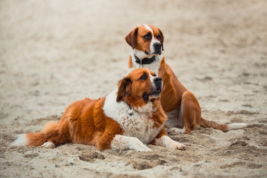 cani san bernardo in spiaggia