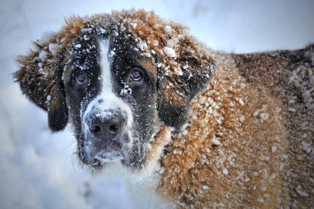san bernardo sulla neve