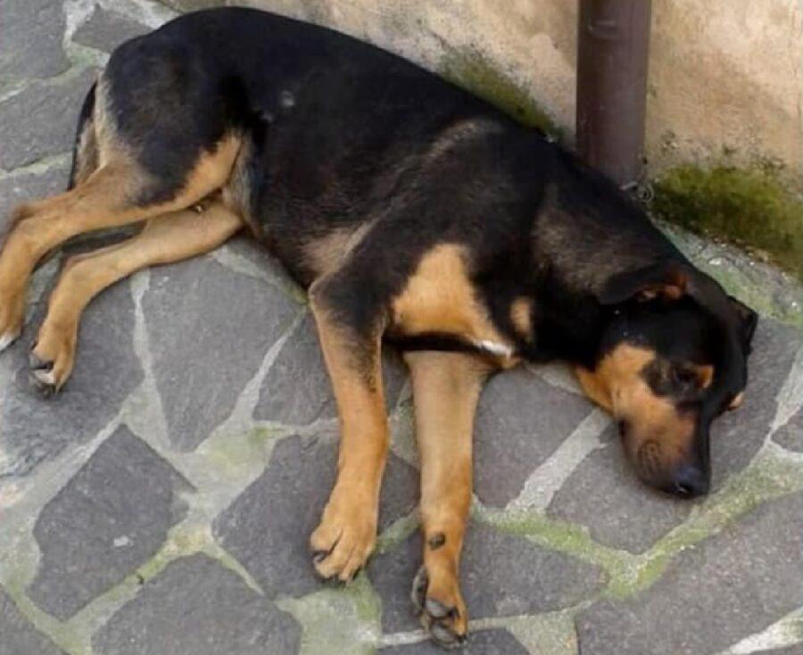 cane zeus cerca riposo