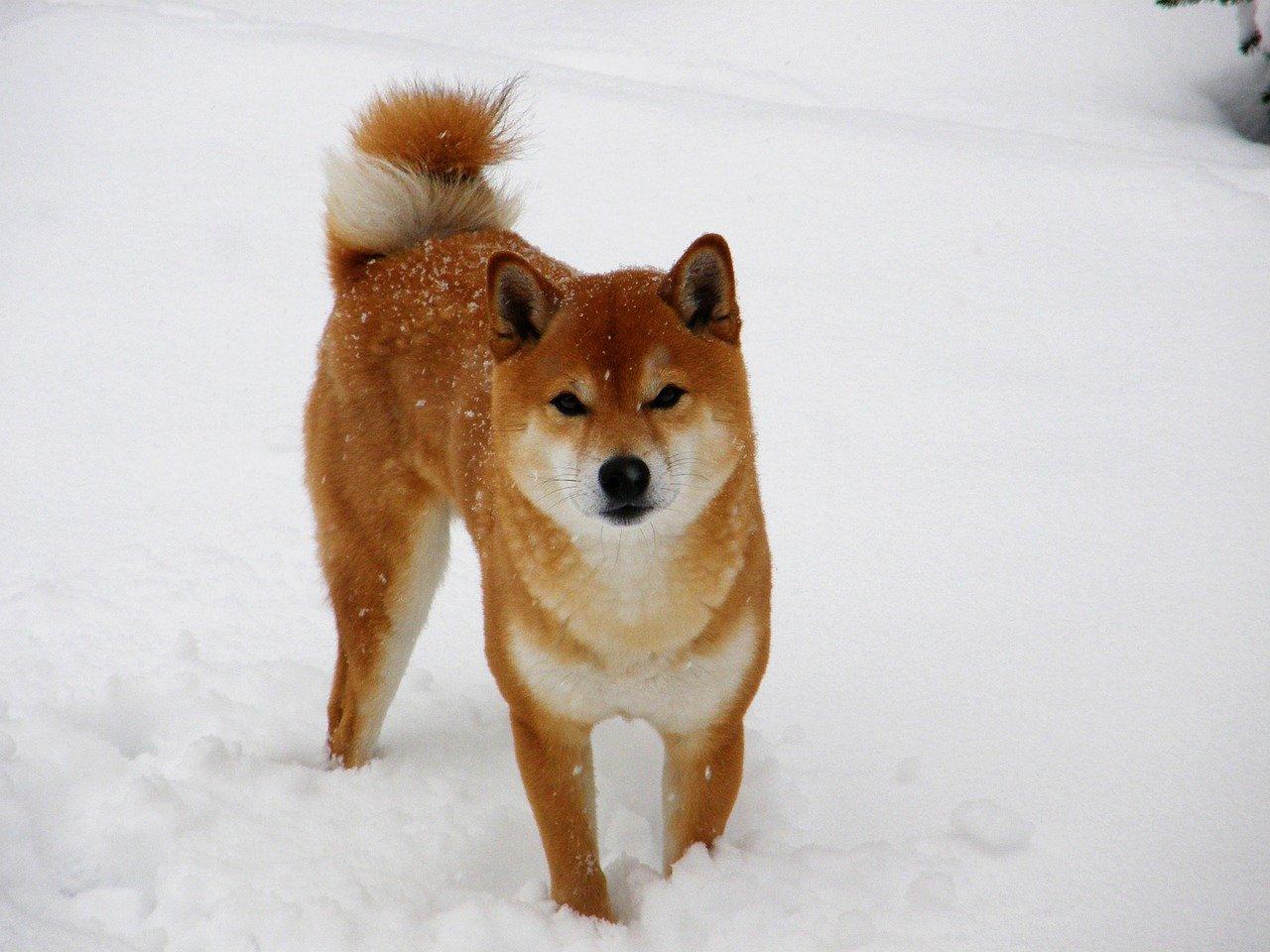 shiba inu nella neve