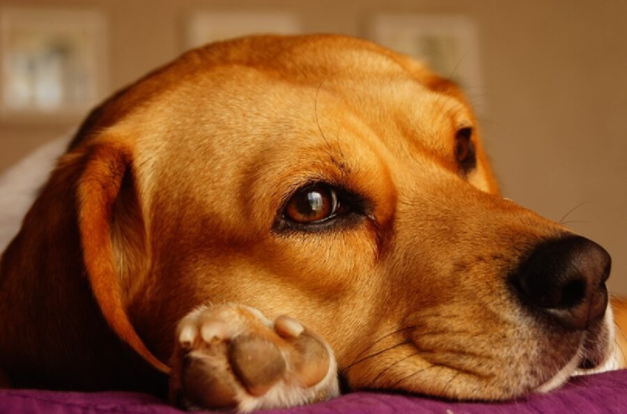 cane occhi penetranti neri