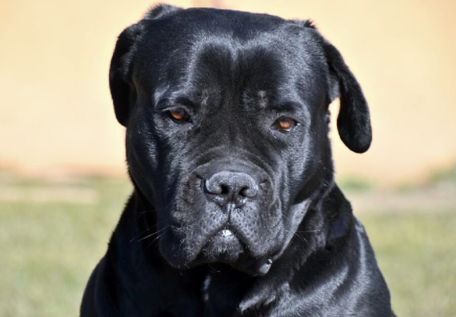 cane corso pelo nero spento