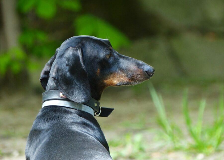 cucciolo bassotto doppio collare