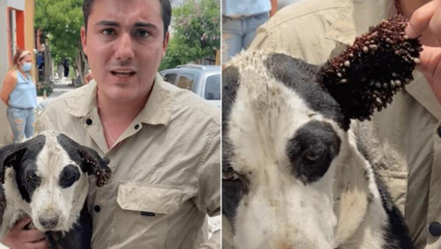 cane infestato da zecche