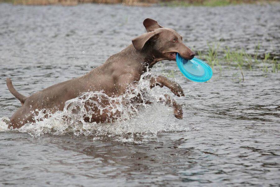 weimaraner che gioca col frisbee