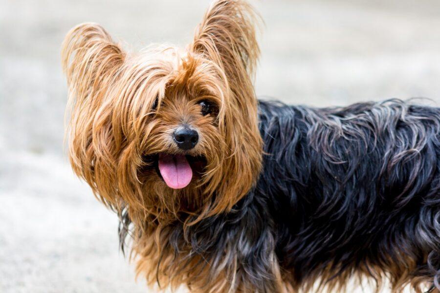cane piccolo con tanto pelo