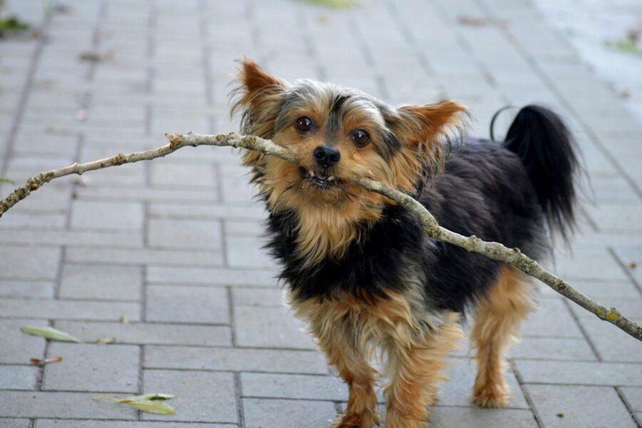 cane che gioca con un legnetto
