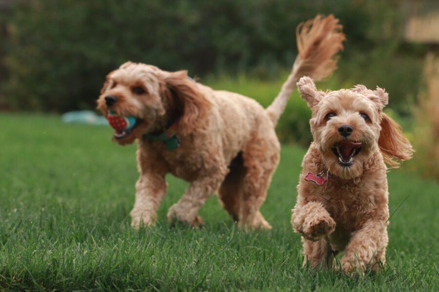 cani corrono assieme