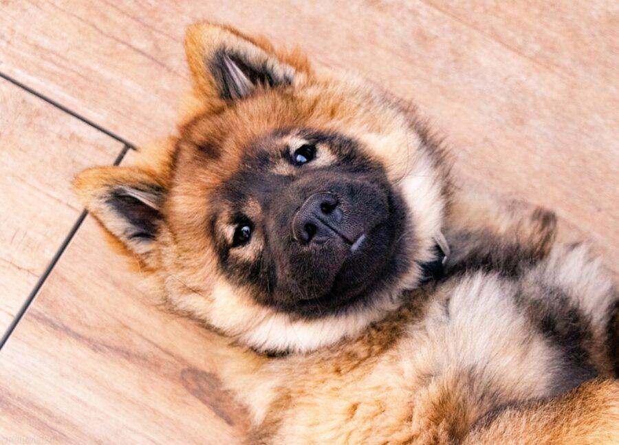 cane cucciolo pavimento