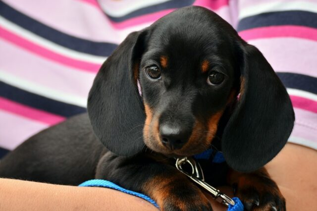 cane dolcissimo orecchie