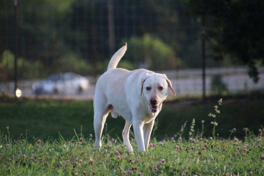 cane labrador dolce