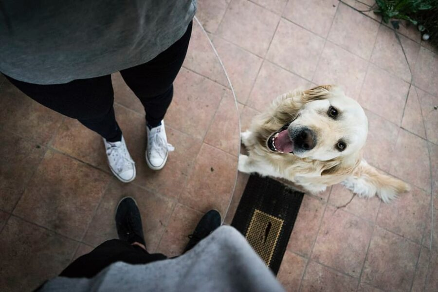 cane labrador mamma