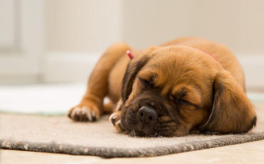 cane sonnecchia stanco