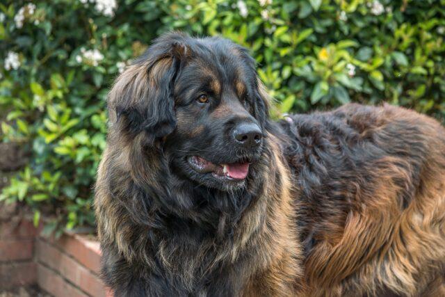 cane leonberger stupendo