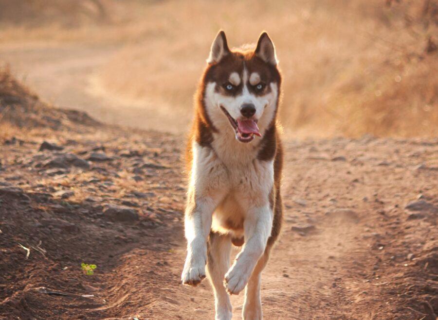 husky bellissimo corre