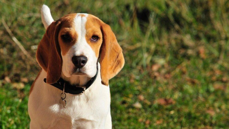 beagle posa foto