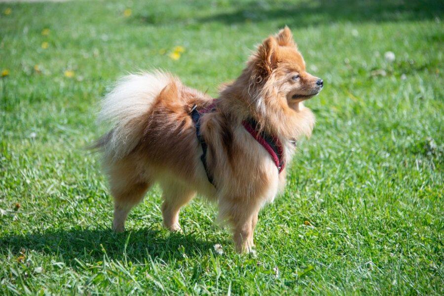 pomerania cane adorabile