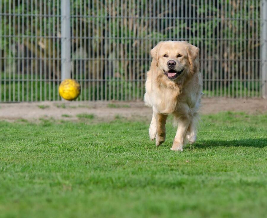 golden retriever palla