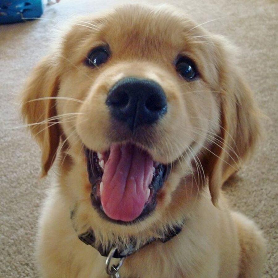 golden retriever cucciolo