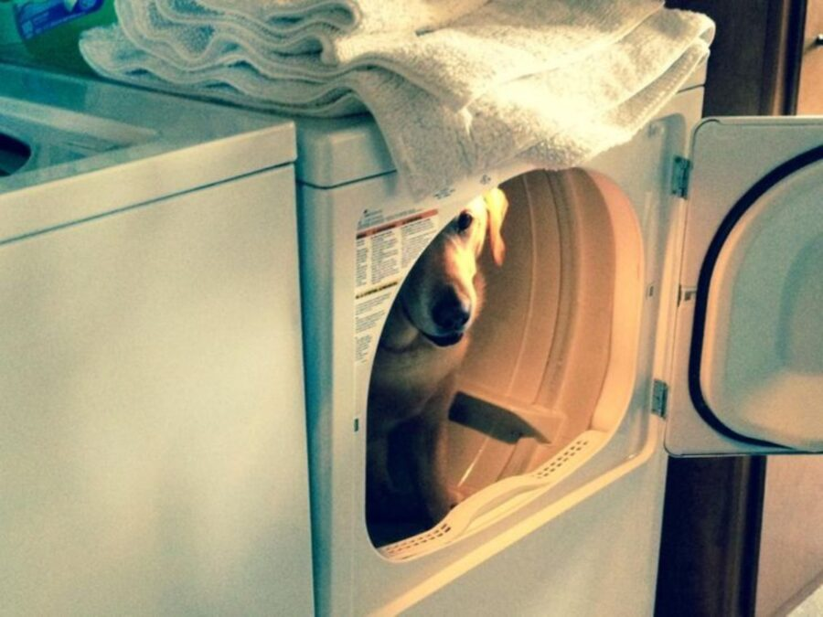 labrador dentro lavatrice