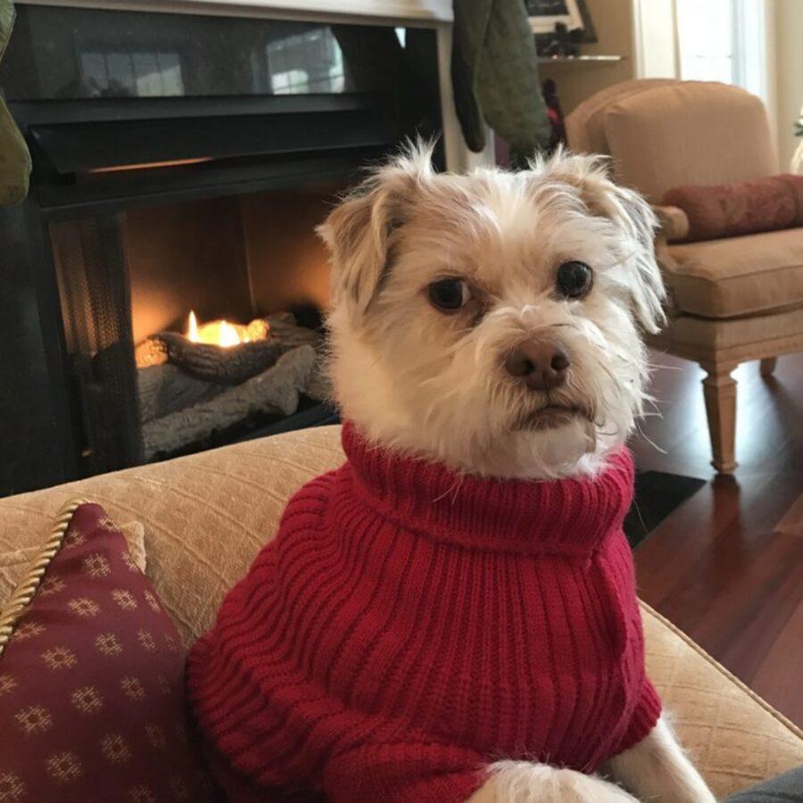 cane maglione dolce