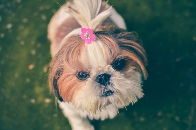 cane coda dolce