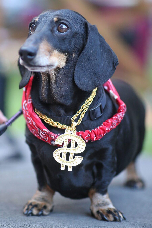 cane con dollaro