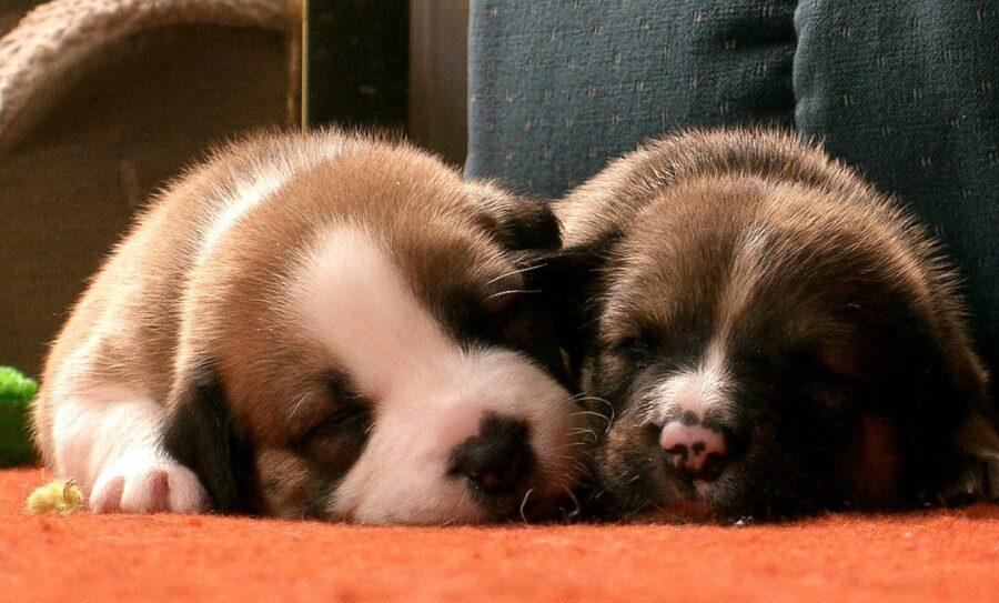cani dolci sonno