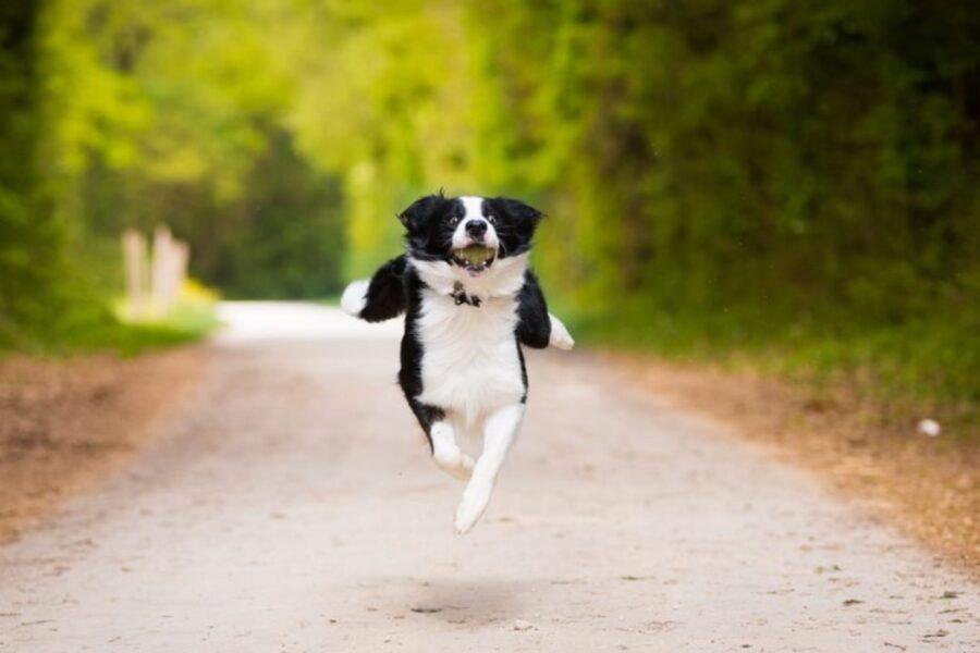 cane corsa gioiosa