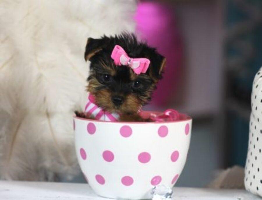 cucciolo nella tazzina