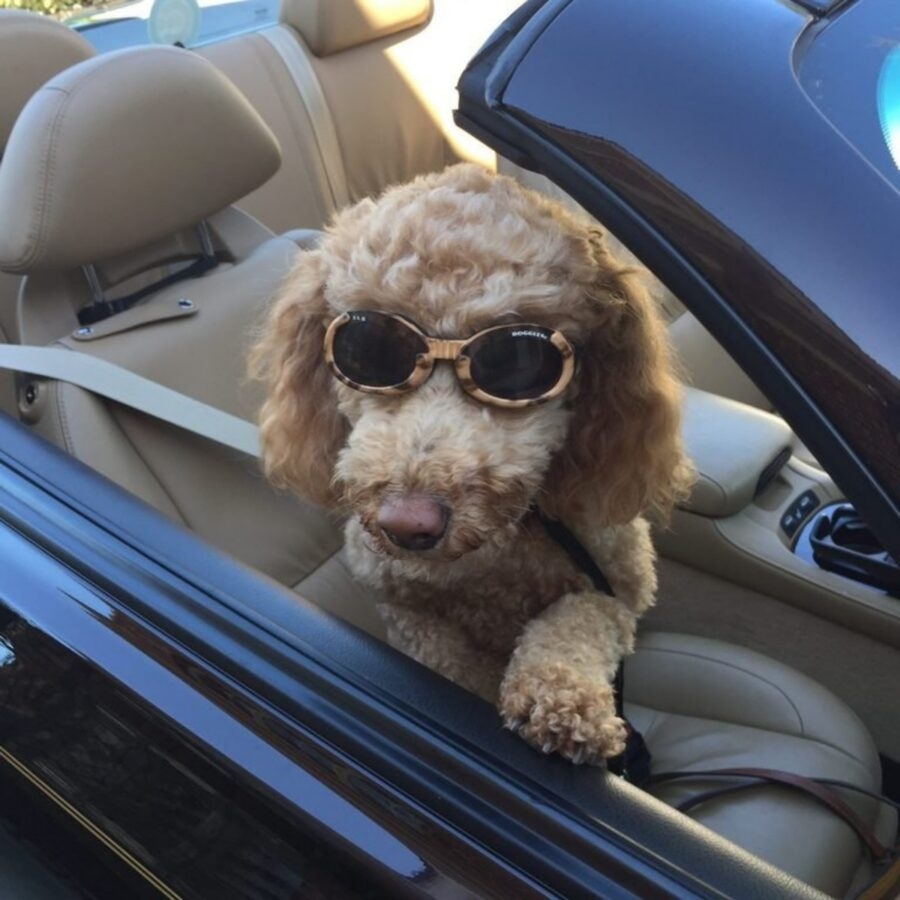 cane occhiali barboncino