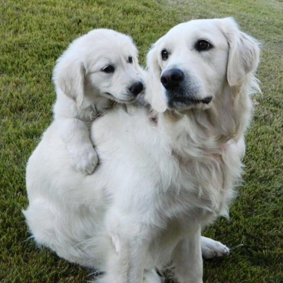 pelosi labrador famiglia