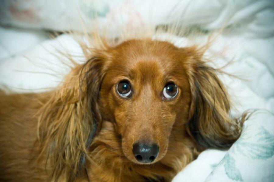 cane sguardo buffo