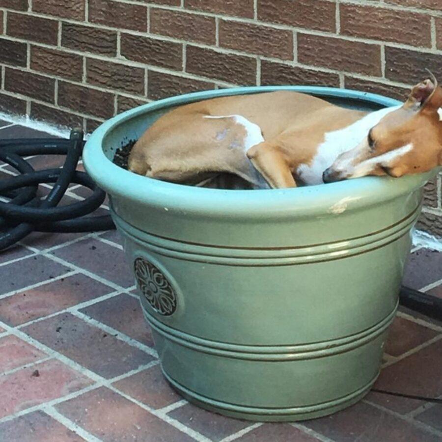 cane nel vaso