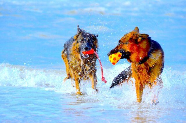 cani assieme giocare