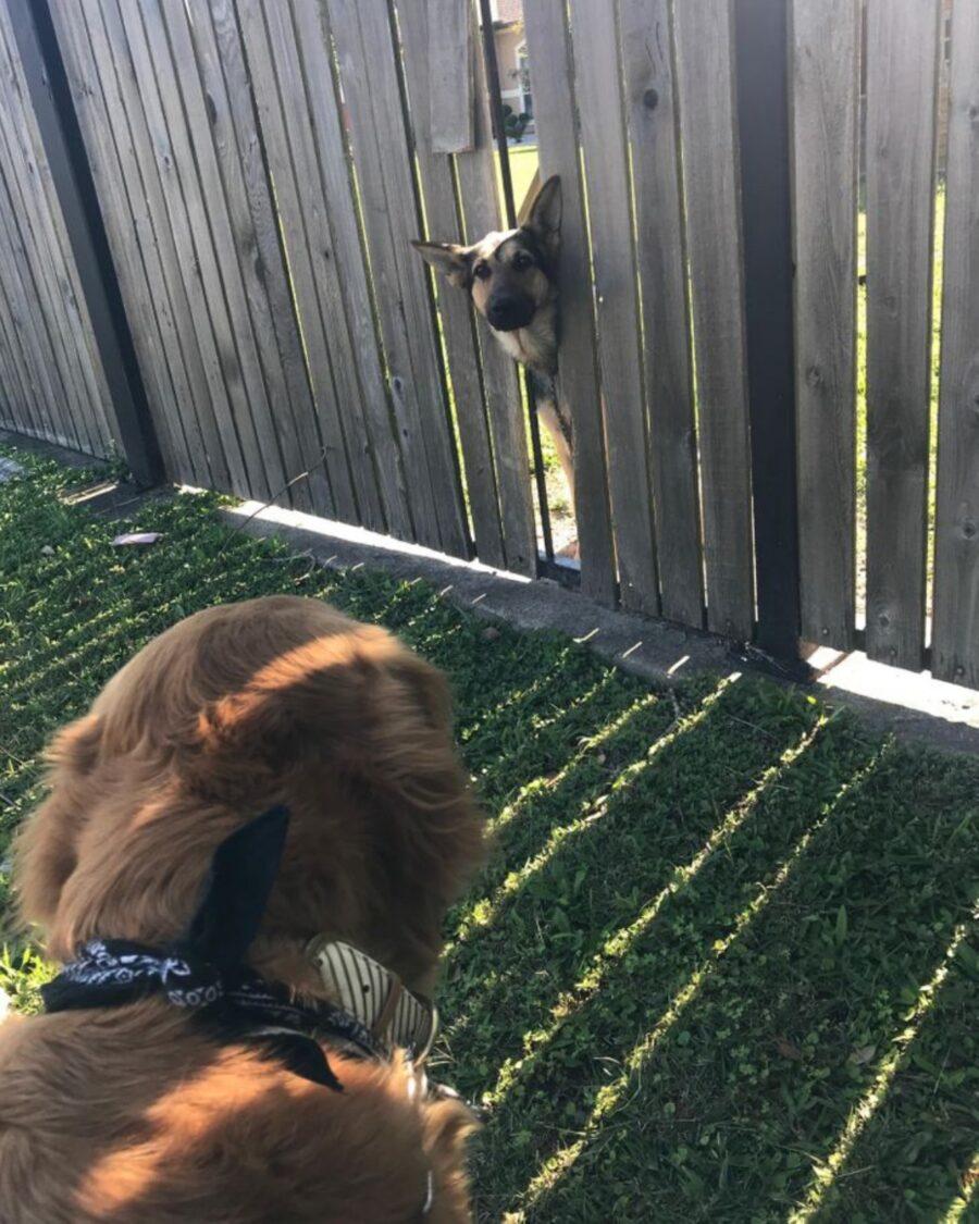 cane affaccia guarda