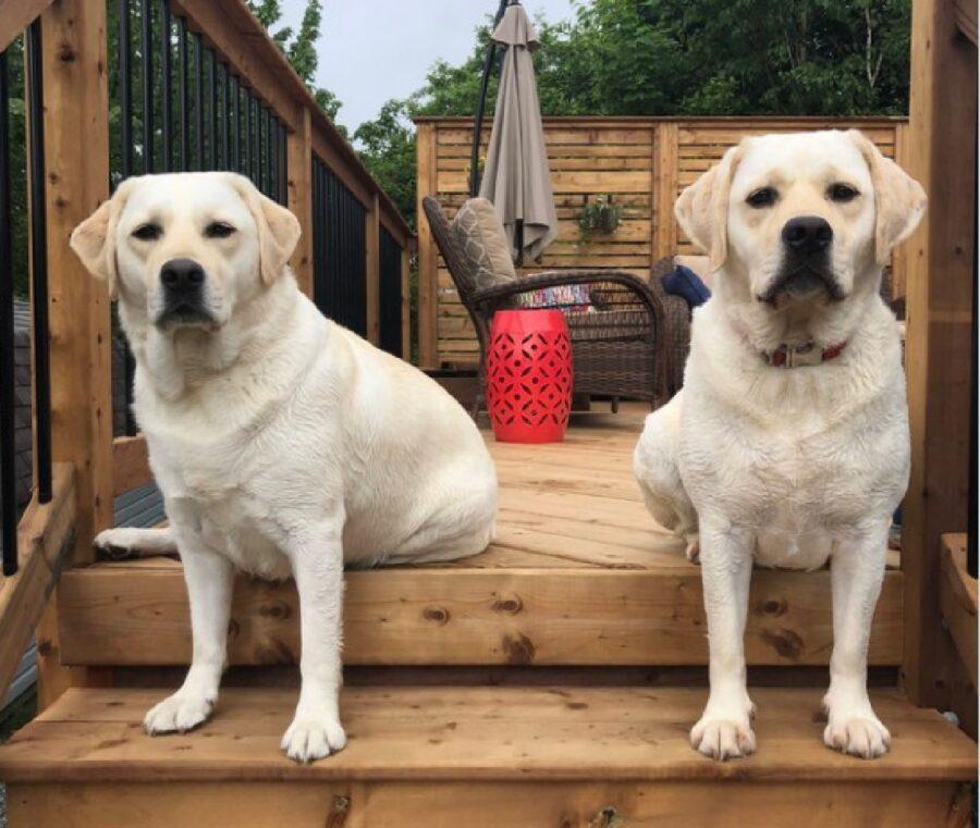 coppia cani seduti male