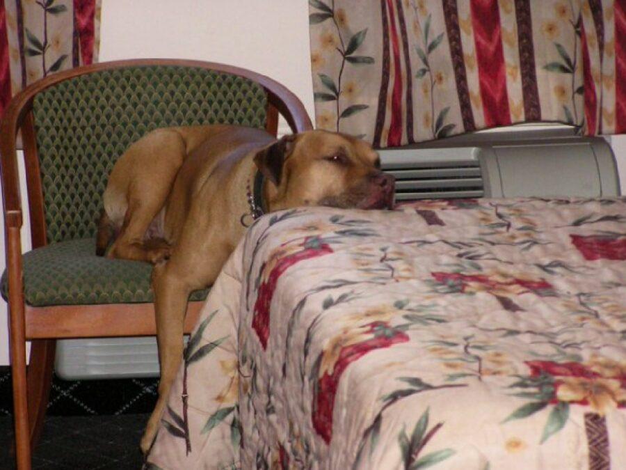 cane a metà tra poltrona e tavola