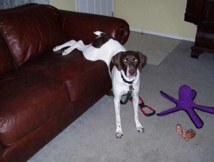 cane divano zampe posteriori