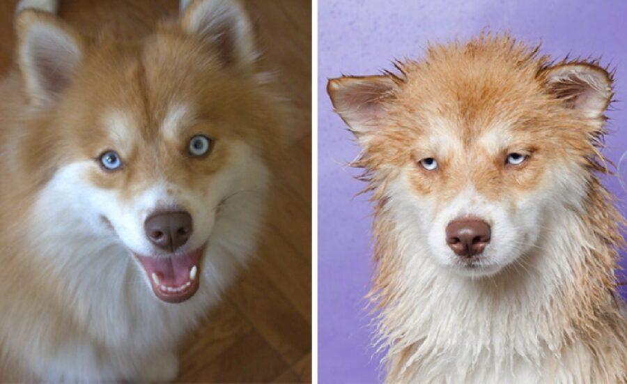 cane husky rosso pelo