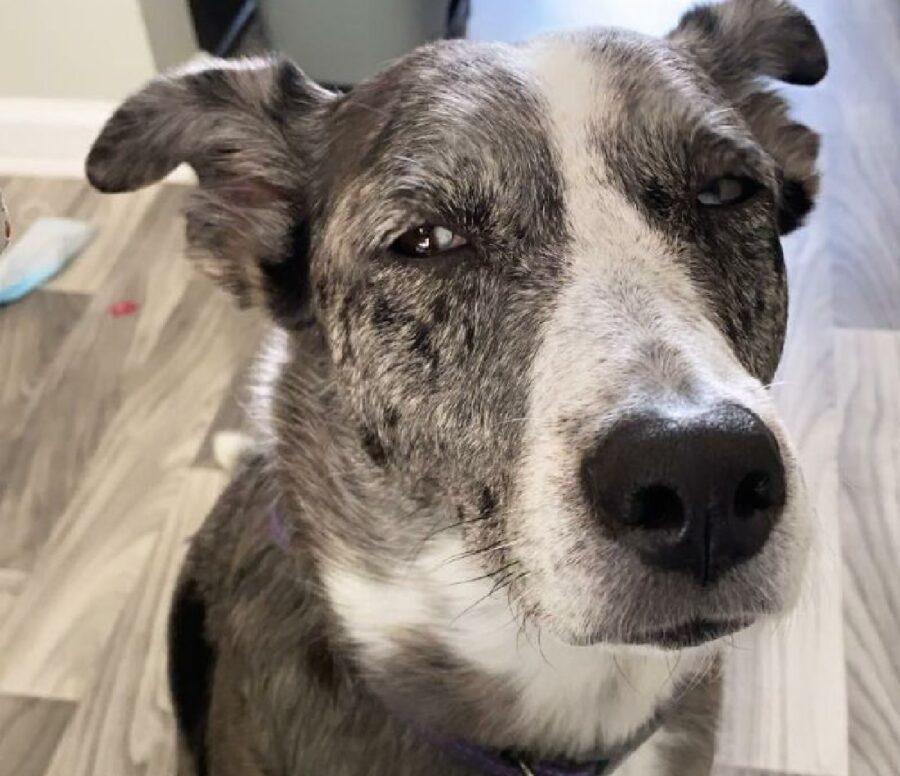 cane muso bianco pelo grigio