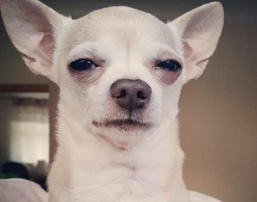 cane bianco occhi socchiusi