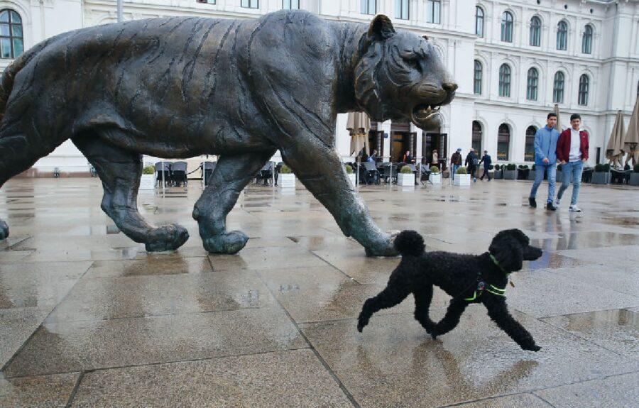 cane davanti tigre statua