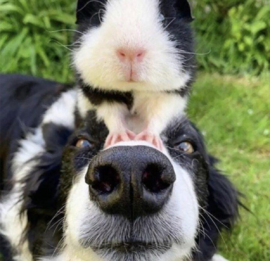 cane borde collie porcellino india