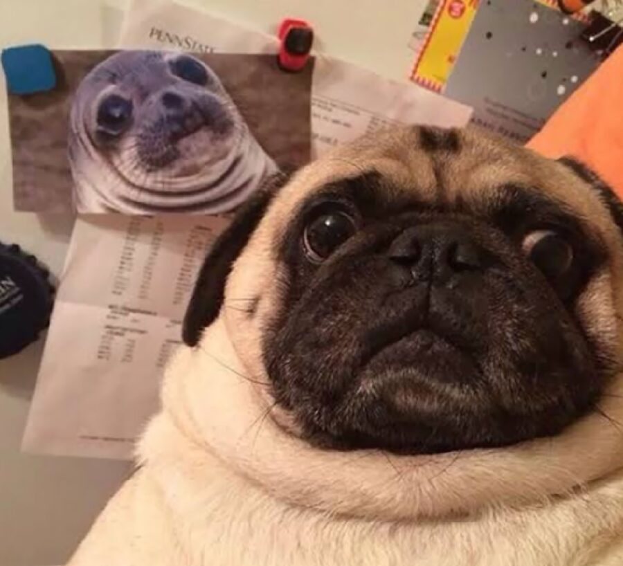 cane carlino identico a foca